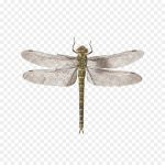 Dragonfly Coloring Book Awesome Dragonfly Tattly Animalia Rationalia Et Insecta Ignis Plate Ii