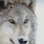 Gray Wolf Pictures to Print Inspired Gray Wolf Graphic Print by Dlillc Things Brandon Likes