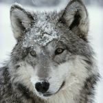 Pictures Of Wolves Faces Creative Dusting Of Snow Lies On the Face Of A Gray Wolf Canis Lupus