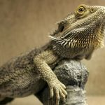 Walking Dead Coloring Pages Excellent Bearded Dragon Behavior What Your Pet Needs